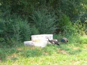 Peacocks: either administering last rites, or telling the ducks about how hosed they are.