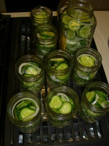 Cucumbers waiting to become pickles.